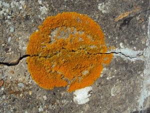 Lichen growing on a concrete tank trap.