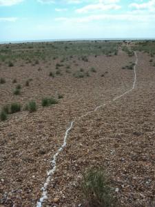 A line of whelk shells leading across a pebble beach.
